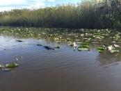 Gator-Park-Everglades
